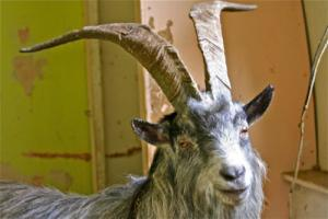 This feral goat is currently in captivity being treated for injuries. Doesn't he look like he's smiling?