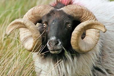 A Co. Mayo ram is a handsome specimen of his breed.