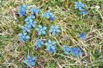 Blue Gentian flowers in the spring in the Burren's limestone landscape in Co. Clare. Judy Enright photo