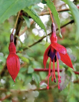 What could be more Irish than the brilliant red, purple and pink fuchsia that grows wild in hedges all across the country?