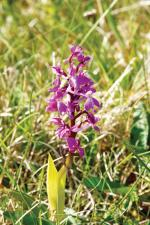 One of 28 species of native orchids that grow wild in The Burren in Co. Clare.