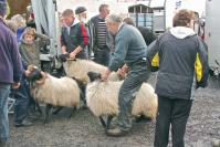 Sheep Show: Getting ready for a class at the Achill Sheep Show in Co. Mayo